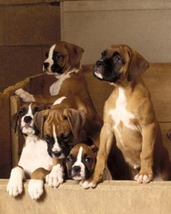 Boxers are No. 7 most notable dog breeds: Boxer Dogs, Boxer Pups, Boxer Puppies, Puppys, Boxers, Boxer Babies, Dog Breeds, Animal