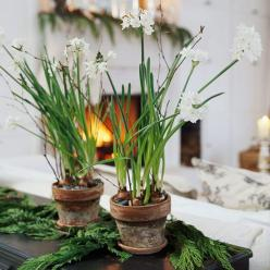 Bring a touch of spring into your home a few months early with easy-to-grow paperwhite bulbs!: Cedar Sprigs, Holiday, Grow Paperwhites, Christmas Flower Arrangements, Decorating Ideas, Bulbs, Garden, Easy To Grow Paperwhite, Christmas Flowers
