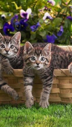 "* * BROWN TABBY: "" Waitz one red hot minute! I yam not gettin' outta dis basket if dat's Vinny-Too-Bad's gang ! "" OTHER KITTEN: "" Me thinks it is. Duck and cover ! "": Kitty Cat, Fluffy Kitten, Adorable Cat, Fluffy Cat, Brown Ca"