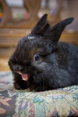 bunny yawn!: Rabbit, Animals, Ermahgerd, Bunny, Funny Stuff, Funnies, Things, Bunnies