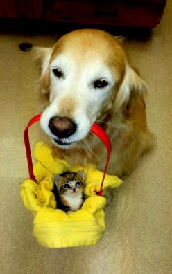by Meterocre ~ I have a care package for Caturday: Cats, Kitten, Animals, Dogs, Golden Retrievers, Pets, Adorable, Funny Animal, Care Packages