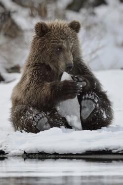"by sergey ""my icecream ummmm"" - via: valscrapbook:margadirube: h4ilstorm: - Imgend: Face, Bears, Play, Animal"