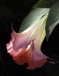 by vmburkhardt. - Datura stramonium - Very toxic, but still wonderfully sensual to look at.: Beautiful Flowers, Trumpets, Garden, Flower, Pink Angel, Angeltrumpet
