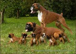 Can anyone tell me how you get 4 dogs sit and pose?  I have 4 dogs and I can't even sit them next to each other.  LOL: Boxer Dogs, Animals, Pet, Boxer Family, Boxers, Puppy, Families, Friend