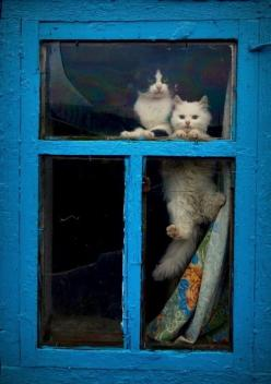 Cats perking through a blue window: Kitty Cats, Animals, Blue Window, Pets, Kitty Kitty, Window Cats, Windows, Kittens