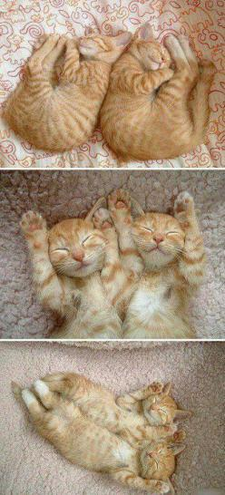 cats: Twin, Cats, Kitty Cat, Orange Cat, Animals, Sweet, Ginger Kitten, Kittens