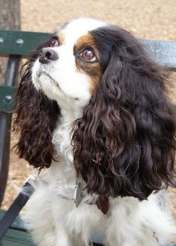 Cavalier Prince Charles Spaniel: Animals, Pet, Sad Face, Charles Cavalier, Cavalier King Charles, Beautiful Dogs, Friend, King Charles Spaniels, Eye