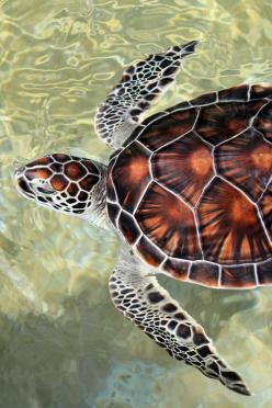 Cayman Turtle | Carey Chen: Animals, Beautiful Animal, Seaturtles, Turtles Tortoise, Sea Turtles, Ocean Life