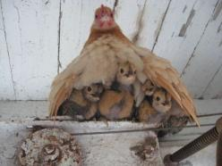 chicks: Farm, Animals, Chick Chick, Baby, Country Life, Hens, Birds, Peek A Boo