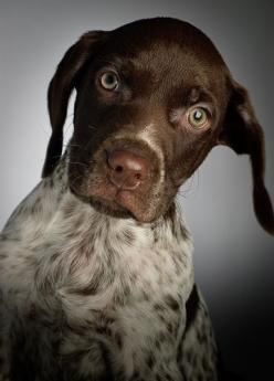 Chimney Smoke: Shorthair Pointer, Pet, Puppy, Dog, Gsp, Animal