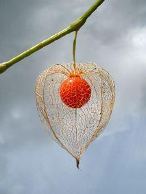 Chinese Lantern (physalis alkekengi) is a truly fascinating plant. First, there are little white flowers. Then, in late summer, they develop into fruits, protected by larger, papery pods – green at first, but later becoming bright orange, perfectly resemb