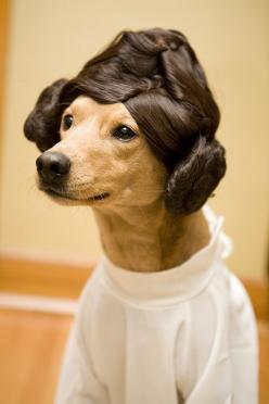 .   ...........click here to find out more     http://googydog.com: Dogs, Pet, Star Wars, Hair, Starwars, Animal, Princess Leia
