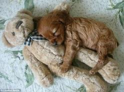 Cocker Spaniels are the best! Awww I love how sweet puppies are :): Animals, Puppies, Dogs, Sweet, Teddybear, So Cute, Teddy Bears, Pet, Puppys
