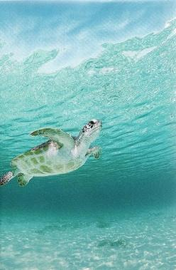 Color - Aqua, Teal, Turquoise: sea turtle......Love the tranquility of this : ): Animals, Green Sea, Seaturtles, National Geographic, Posts, Hunt, Turtle Haunts, Sea Turtles, Caribbean