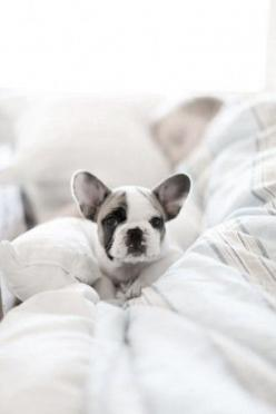 Cutieee   ...........click here to find out more     http://googydog.com              ...... P.S. PLEASE FOLLOW ME IN HERE @Emily Schoenfeld Schoenfeld Schoenfeld Schoenfeld Wilson: White French Bulldog, Animals, French Bulldogs, Pet, Frenchbulldog, Puppy