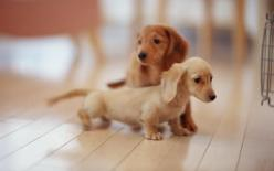 Dachshunds!: Puppies, Animals, Dogs, Dachshund, Pet, Doxie, Puppys, Baby