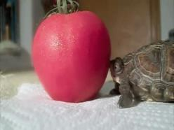 daily gifdump 629 15 First world problems got you down? (30 Photos): Tortoise, Adorable Animals, Apple, Funny Gifs, Animal Gif, Funny Stuff, Things, Tomatoes, Baby Turtles