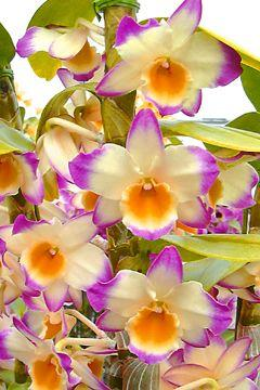 Dendrobium Fancy Lady 'Royal Princess': Dendrobium Orchids, Beautiful Flowers, Pretty Flowers, Beautiful Orchids, Flowers, Garden, Orquidea