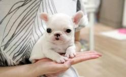 df5112dee5189c2008c8e24ba0386f05   (the tea-cup french bulldog: super cute & very lovable): Teacup French Bulldogs, Frenchbulldogs, Puppys, Tiny Teacup, Frenchie, French Bulldog Puppies, Animal