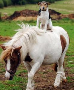 Dog Loves His Pony Rides | Simply Marvelous Horse World: Jack Russells, Shetland Ponies, Animals, Friends, Dogs, Horses, Jack O'Connell, Jackrussell