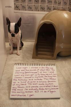 Dog shaming: Dog Shame, Dog Shaming, Bad Dog, Boston Terriers, Pet Shaming, Animal