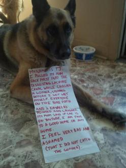 Dog shaming: Funny Animals, Dog Shame, Dog Owners, Dog Shaming, Bad Dog, German Shepherd, Pet Shaming