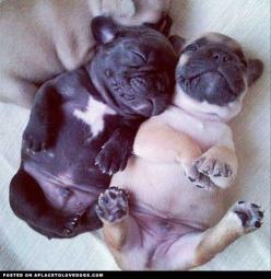 Don't you just want to tickle their little bellies.: Animals, Puppies, Dogs, Pet, Frenchbulldog, Puppys, Pugs, Baby