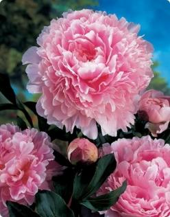 Double Peony - Sarah Bernhardt. No garden is complete without at least two shades of peonies.: Fragrant Sarah, Peony Sarah, Bernhardt Double, Sarah Bernhardt, Beautiful Flowers, Bernhardt Peony, Garden, Pink Peonies