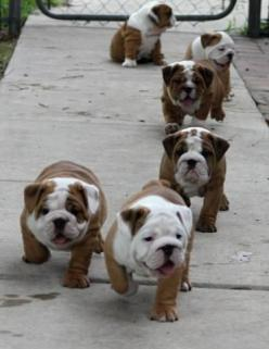 English bulldog puppy stampede I love the one sitting down in the background.: Animals, Englishbulldog, Bulldog Puppies, English Bulldogs, Pet, Puppys, Bull Dogs