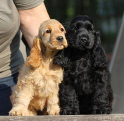 ENGLISH COCKER SPANIEL   ...........click here to find out more     http://googydog.com: English Cocker Spaniel, Animals, Cocker Spaniël, Black Cocker Spaniel, Spaniel Breed, Puppy, Cocker Spaniels, Dog