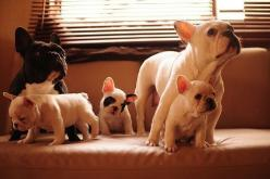 eu querooo!!!: Frenchie Family, Animals, French Bulldogs, Pet, Frenchbulldogs, Puppy, Baby, Families