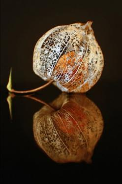 Fall leaf: #fall #leaf: source: crescentmoon06: Reflection, Seed Pods, Chinese Lanterns, Autumn, Posts, Seedpod, Garden, Photo, Flower
