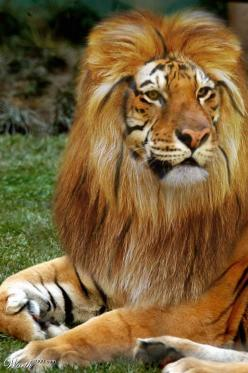 Fascinating Ligar - Ligars are the offspring of a lion and a tigress. The biggest hybrid cat.: Ligers, Lion, Big Cats, Animals, Beautiful Animal, Hybrid Cat, Male Liger