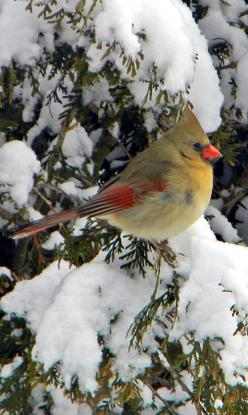 Female Cardinal in Snowy TreeWow she's different color than the one in my yard,in florida .How Amazing to see so many differrent creatures from our Lord.: Winter, Female Cardinal, Beautiful Birds, Cardinals, Animal
