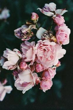 ❈ Fleurs Foncées ❈ dark art photography flowers & botanical prints -: Pink Roses, Pink Flowers, Flower Power, Pink Bloom, Pink Floral, Pretty Flower, Garden, Flower