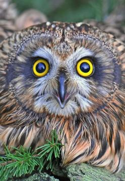 Focus! Attribution is unclear; could be Coby Hadas, on Flickr (who seems to collect, rather than photograph), or Gennady Dubin.: Animals, Owl Eyes, Hoot Hoot, Photo, Birds, Owls