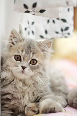 For some people, cats that have become a part of their lives. About this photo gallery is very cute, the sweet, beautiful cats we share with you.: Beautiful Cat, Kitty Cats, Animals, Kitten, Sweet, Cute Cats, Kitty Kitty, Pretty Kitty