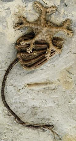 #Fossil -  #Crinoid calyx, stem & holdfast.: Dinosaur, 300 Million Year Old Fossil, Inspired Alien, Artist, Fossils, Aliens
