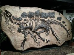 Fossilized in-ground Stegosaurus, Houston Museum of Natural Science | Flickr - Photo Sharing!: In Ground Stegosaurus, Natural Science, Museums, Dinosaur Fossils, Dinosaurs Fossil S, Fossils Dinosaurs, Photo, Fossilized In Ground