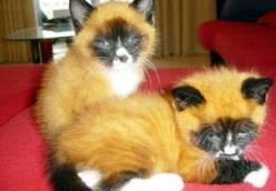Fox face cats.: Cats, Kitten, Faced Cat, Animals, Foxes, Kitty, Face Cat