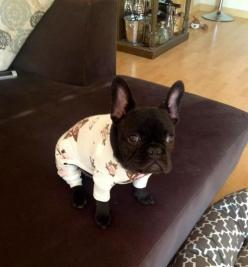 French Bulldog p.j's on.. ready for bed..: Animals, French Bulldogs, Pet, Bed, Frenchbulldog, Puppy