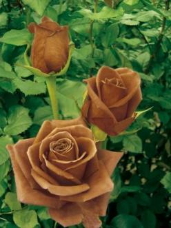 French rose breeder NIRP International has created a chocolate rose called the Terra Nostra.: Beautiful Flower, Chocolates, Brown Flower, Rose Breeder, Chocolate Roses, Brown Rose, Brown Color, Flowers, Our Land