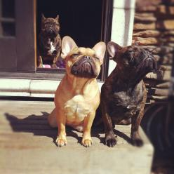 Frenchies in the sun | Fluffington Post: Animals, French Bulldogs, Pets, Frenchbulldogs, Funny, Friend, Sun