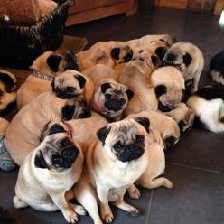 Fun fact: A group of pugs is called a grumble.  A grumble of pugs.: Animals, Dogs, Pug Life, Pug Pile, Pug Obsession, Adorable, Pugs