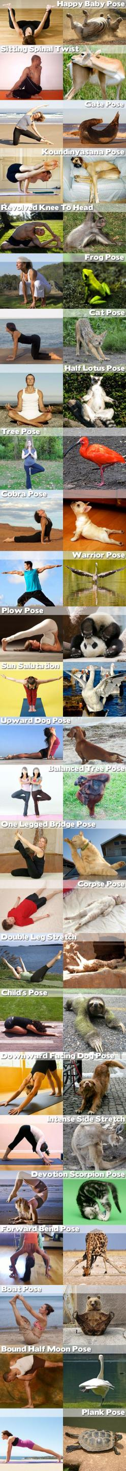 Funny Animal Yoga...i'm gonna have a really hard time keeping a straight face next class....: Animals, Funnies, Funny Animal, Things, Health, Animal Yoga, Workout