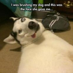 funny dog faces: Animals, Dogs, Faces, The Face, Funny Stuff, Husky, Funnies, Moon Moon