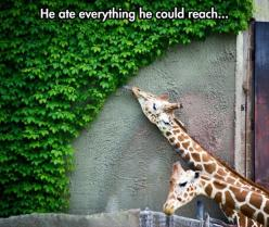 Funny Pictures Of The Day – 88 Pics: Funny Animals, Reach, Funny Pics, Animal Kingdom, Funny Pictures, Ate, Funnies, Photo, Giraffes
