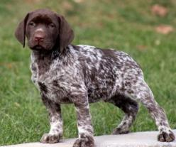 German short-haired pointer: Hunting Dogs, Labrador, Puppy Dogs, Shorthair Pointer, Gsps, German Shorthaired Pointer, German Pointer, Baby Animals