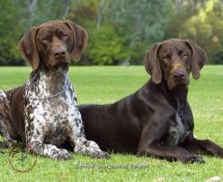 german shorthaired pointers | ... Dogs/German Shorthaired Pointer/German Shorthaired Pointer 9J37D-09: Gsps, Dogs German Shorthaired, German Shorthaired Pointers, Pets, Pointer German Shorthaired, Gsp S, Shorthaired Pointer German, German Shorthaired Poin