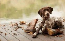 german shorthaired pointers <3: Hunting Dogs, Bean Boots, Autumn Moments Brown, Cute Little Dogs, Old Dogs, Animals Dogs Gsp, Puppy Photograph, A Dog Lover